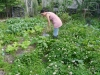 permaculture-weeding_14991165858_o