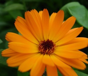 Pot Marigold is a great example of multi use plants. It attracts hoverflies that predate on green fly, are edible, have a positive allellopathic effect on plants growing around it and has medicinal properties.