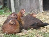 chickens_16058426171_o