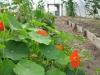 companion-planting_15873258020_o