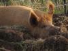 pigs_16034209766_o