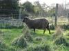 sheep_15872898078_o