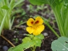 Nasturtiums are delicious and a good companion plant.