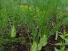 Fennel is doing well in the polytunnel