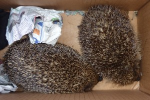 I introduced these hedgehogs in the garden. I decided not to name them. They are wild animals and need to remain wild.