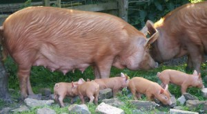 Tamworth sow and piglets