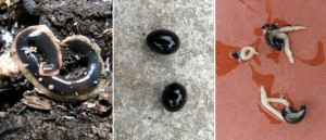 New Zealand flatworm life cycle